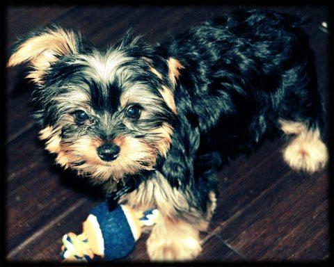 Yorkie Pup